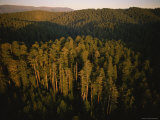 Afternoon Sunlight Bathes Redwood Trees  California