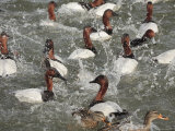 Canvasback Ducks in a Feeding Frenzy
