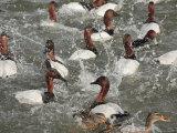 Canvasback Ducks in a Feeding Frenzy