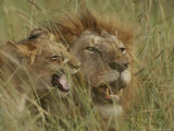Adult Male and Juvenile Lion in Grass