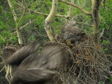 Great Grey Owl with Prey of Red Squirrel in Nest  Alaska