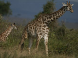 Adult Masai Giraffe and Calf