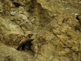 Grizzly Bear Pauses to Reconsider Route Through Cliffs  Alaska