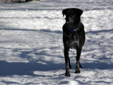 Black Lab in the Snow  Chevy Chase  Maryland