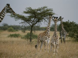 Adult Masai Giraffe with Three Calves