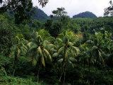 Forest Scene in Jamaica