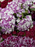 Close Up of Hydrangea at an Outdoor Market in New York