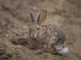 Desert Cottontail Rabbit at the Henry Doorly Zoo  Omaha Zoo  Nebraska
