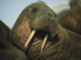 Adult Female Walrus  Alaska