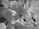 Copenhagen  Denmark-Daffodil Flowers in the Sun  Black and White