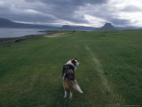 Iceland: a Solitary Dog Looks into the Distance