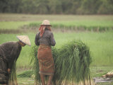 Harvesting Rice Seedlings for Replanting in Siem Reap  Cambodia