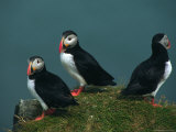 Iceland  Three Puffins on Rock Cliff
