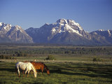 Horses Graze at Lost Creek Ranch in Moose  Wyoming