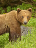 Close Portrait of Brown Bear Along Grassy Shore  Alaska