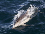 Common Dolphin Swimming  California