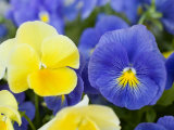Close View of Pansies  Massachusetts