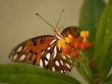 Gulf Fritillary Butterfly at the Lincoln Children's Zoo  Nebraska
