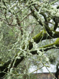 Close-Up of Moss Covered Wet Tree Branch  California