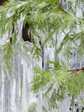 Close-Up of Ice Covered Tree Branch  California