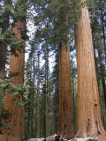 Giant Sequoias Trees above Round Meadow  California