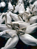 Denmark: Swans Gathered on a Lake in Copenhagen  Directly Above