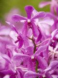 Cultivated Aranda Hybrid Orchids--Cross of Arachnis and Vanda  Singapore