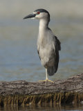 Black Crowned Night Heron Standing on One Leg  Baltimore  Maryland