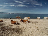 Cattle Rest on a Beach