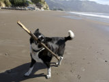 California  USA: Dog Playing on Beach with Stick