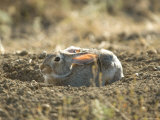 Cottontail Rabbit at Charles M Russell National Wildlife Refuge