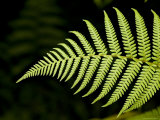 Detail of Asian Rain Forest Ferns  Singapore