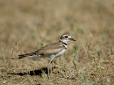 Killdeer in Eastern Montana