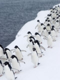 Adelie Penguins Walking in Line