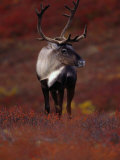 Barren Ground Caribou Bull with Velvet Covered Antlers Set against the Fall Tundra  Alaska