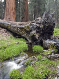 Creek with Giant Sequoia in Round Meadow  California