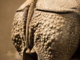 Greater Indian Rhinoceros Closeup