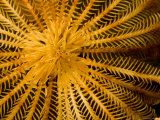Detail of a Feather Star Crinoid  Bali  Indonesia