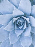 Close-Up of Blue Green Echeveria Succulent Plant  California