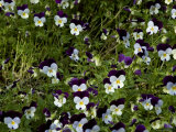 Close-Up of a Field of Pansies  Asolo  Italy