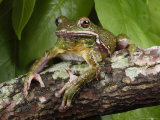 Barking Treefrog Poses for the Camera
