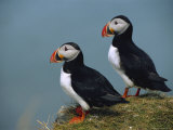 Iceland  Ingolfshofdi  Pair of Atlantic Puffins on Grass Covered Cliff