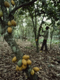Cacao Tree Laden with Fat Yellow Seed Pods