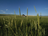 Barn Standing in an Open Field and Framed by Ears of Wheat  Utah