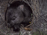 Common Wombat Leaving its Burrow Entrance to Feed at Night  Australia