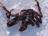 Fisherman's Catch of Crab Lying in Snow and Ice  Alaska