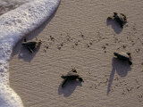 Endangered Greenback Turtle Hatchlings Entering the Sea  Yucatan  Mexico