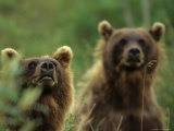 Grizzly Cubs  Alaska