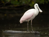Juvenile Roseate Spoonbill Portrait  Tampa Bay  Florida