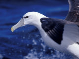 Head  Eye and Beak Detail of a Vulnerable Shy Albatross in Flight  Australia